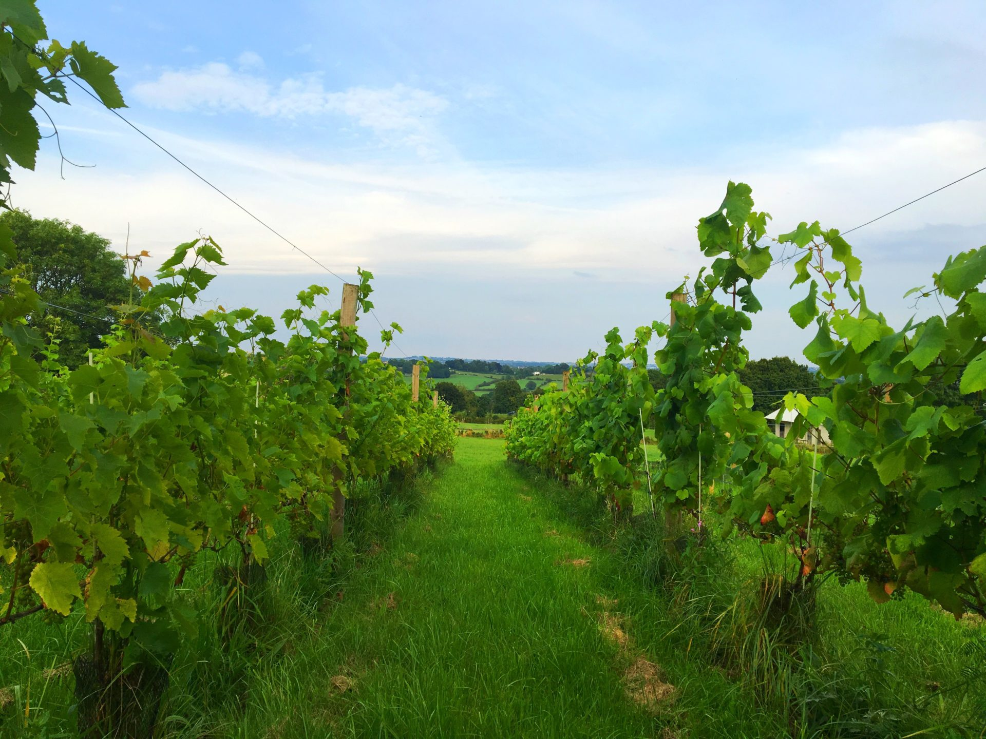 The vineyards of Wessington vineyards - rows of vines with blue sky and fields in the distance